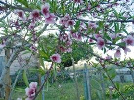 peach-blossom_3-27-08