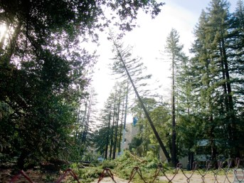 Redwoods and Oaks Cut on UCSC's Science Hill