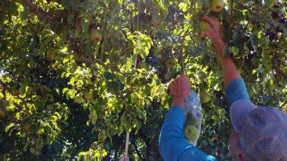 santa-cruz-fruit-tree-project_2_8-26-12