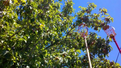 santa-cruz-fruit-tree-project_9_8-26-12