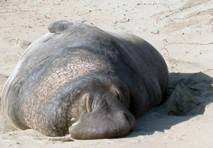 Sleepy elephant seal