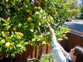 Kristie, an Organizer with Santa Cruz Fruit Tree Project, Harvesting Lemons