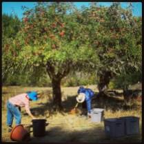 Blaize and Steve harvest apples