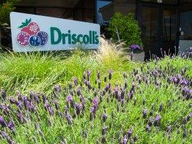 Driscoll's Headquarters in Watsonville, California