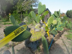 On March 24, City of Santa Cruz parks officials used heavy machinery to clear a portion of the Beach Flats Garden, including cactus plants, that the Seaside Company is attempting to reclaim.