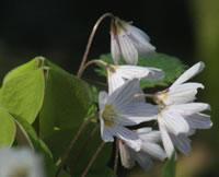 La pianta dell'acetosella