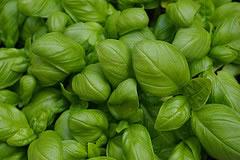 Le foglie del basilico