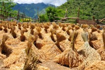 Rice bundles are dried before they're pounded to separate the hulls from the grain.