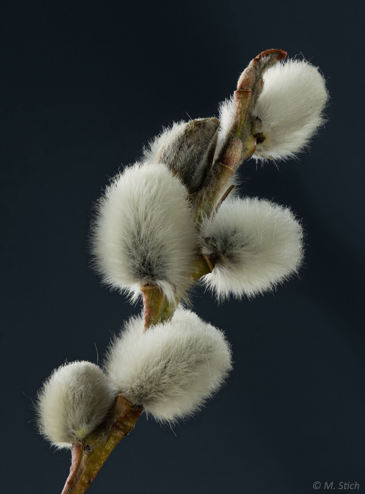 Grey willow flower