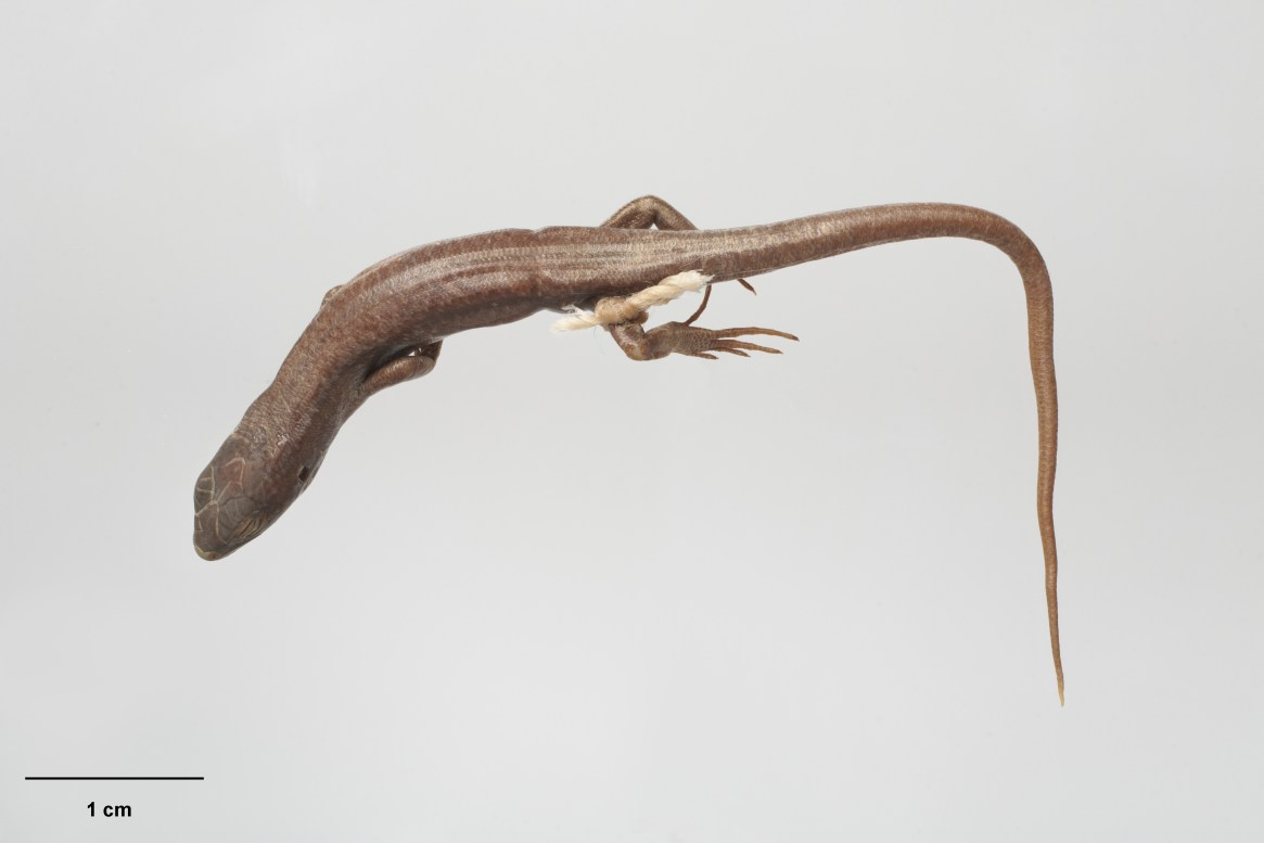 Long-toed Skink, Oligosoma longipes Patterson, 1997, collected 08 Feb 1972, Alma River, 3 miles E of Tarndale, New Zealand. Gift of Landcare Research – Manaaki Whenua, 2012. CC BY-NC-ND licence. Te Papa (RE.004973)