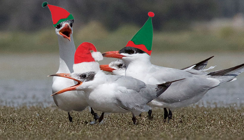 nov capsian terns
