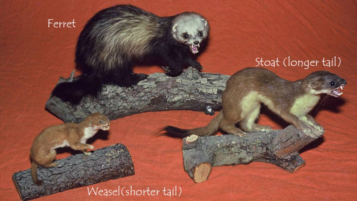 stoat-ferret-weasel