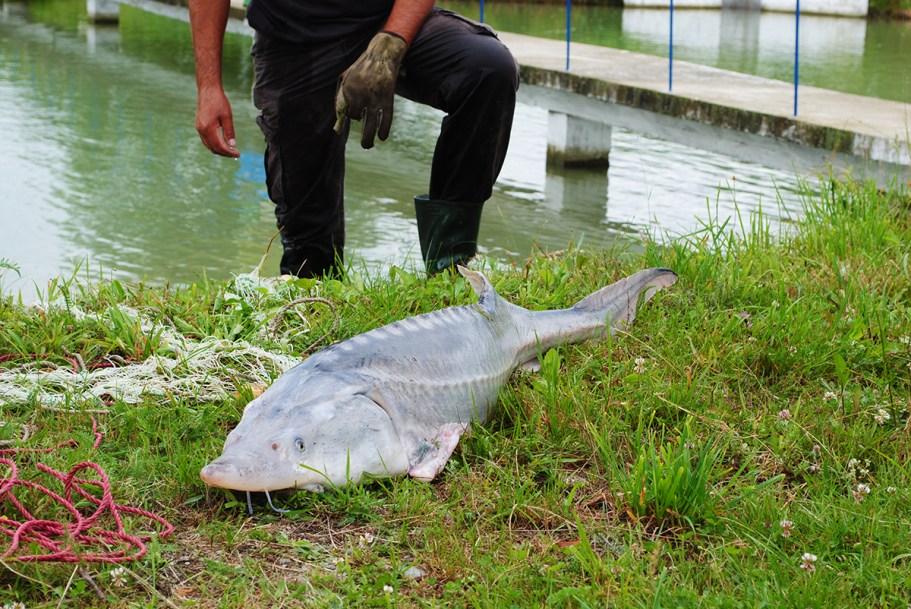 Sturionii de acvacultură ar putea salva sturionii sălbatici din Dunăre