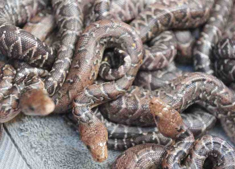 Scientists discover a species of snakes that hunt in packs