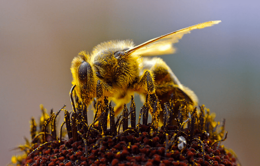 Believe the buzz because the world's biggest bee has been re-discovered