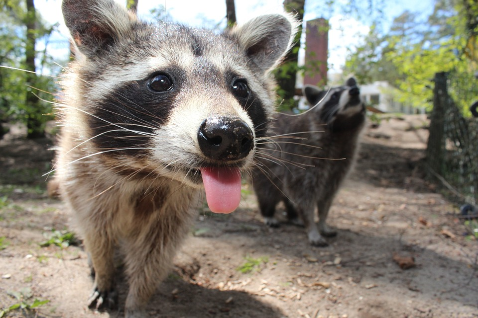 Wild racoon decides to break into zoo and make himself a resident