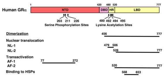 Figure 2. Functional distribution of the human GRa in its linearized molecule The human GRalpha consists of 3 subdomains, NTD, DBD and LBD, each of which contains several functional molecular structures, such as the nuclear localization signals and transactivation domains. The human GRalpha also contains several amino acid residues for phosphorylation (serines) or acetylation (lysines), as indicated. Abbreviations: AF-1 and -2: activation function-1 and -2; DBD: DNA-binding domain; GR: glucocorticoid receptor; HR: hinge region; HSPs: heat shock proteins; LBD: ligand-binding domain; NL-1 and -2: nuclear localization signal 1 and 2; NTD: N-terminal domain.
