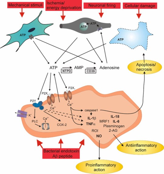 Figure 2. The role of purinergic mechanisms in microglia activation ATP is released to the extracellular space in response to a wide variety of signals, including neuronal firing, mechanical stimuli, ischemia/energy deprivation, bacterial endotoxin and cellular damage from nerve terminals, astrocytes, and the microglia itself. ATP acts on ionotropic P2X7-, P2X4-, and on metabotopic P2Y receptors, all present on the surface of activated microglia. Whilst the activation of P2X receptors triggers an inward cationic current and depolarizes the microglial membrane, the activation of P2Y receptors is coupled to the G protein-phospholipase C (PLC) signal transduction pathway, both resulting in the elevation of intracellular Ca2+. P2X receptors are involved in the expression, posttranslational processing and secretion of various factors, i.e. IL-1β, IL-6, IL-18, TNF-alpha, reactive oxygen intermediates (ROI), plasminogen, 2-arachydonoyl glycerate (2-AG), and microglial response factor-1 (MRF-1) and thereby shaping both the proinflammatory and antiinflammatory aspects of microglial activation. In addition, P2X7 receptors eventually also mediate apoptosis by caspase 1 activation or necrosis. The stimulation of P2Y receptors hyperpolarizes the microglia, via an outward K+ conductance and inhibits the production of proinflammatory mediators.