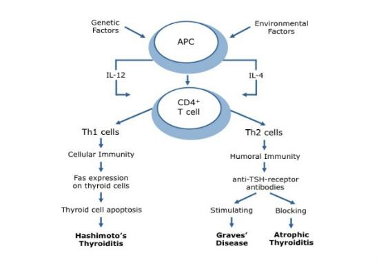 stress Th2 shift thyroid autoimmunity