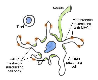 Figure 5 Nervous System Relationship Immune Events