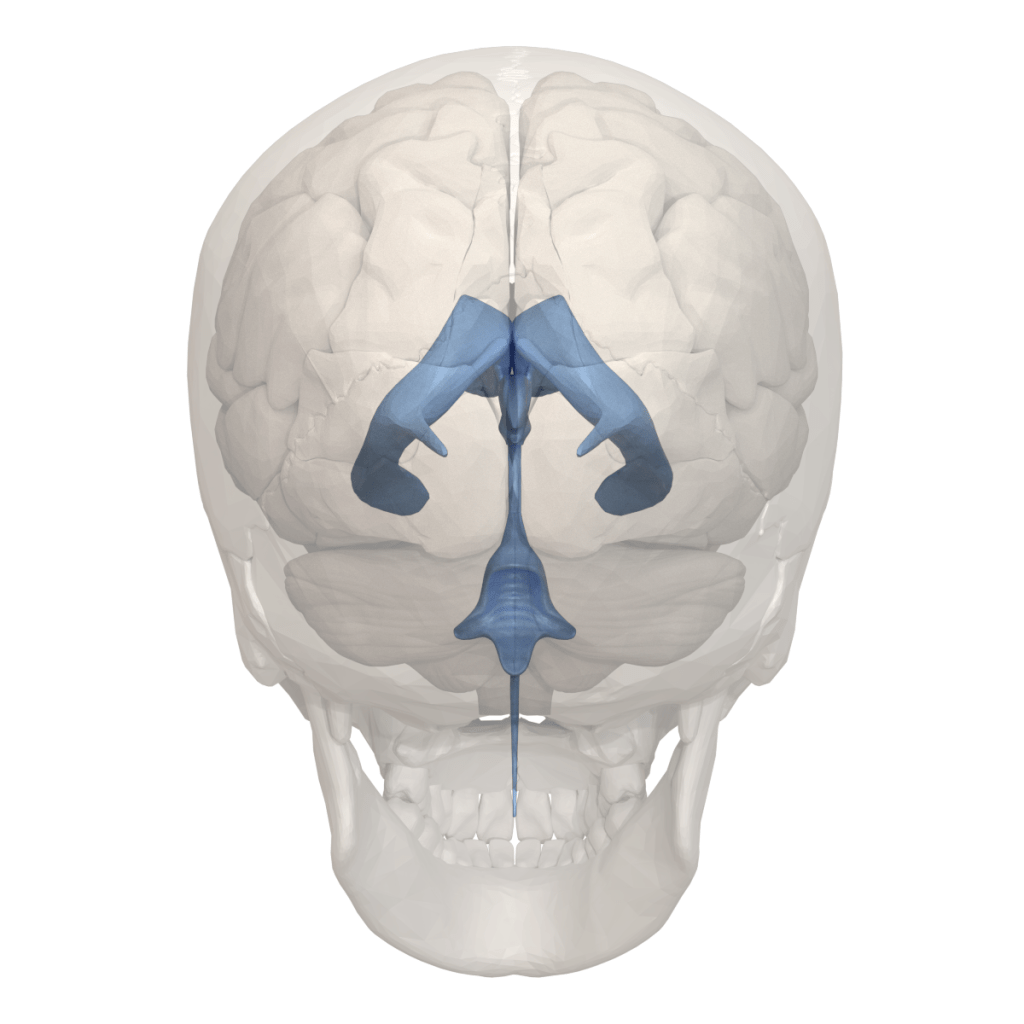 Cerebral Ventricles   Overview, Anatomy, Facts & Systems