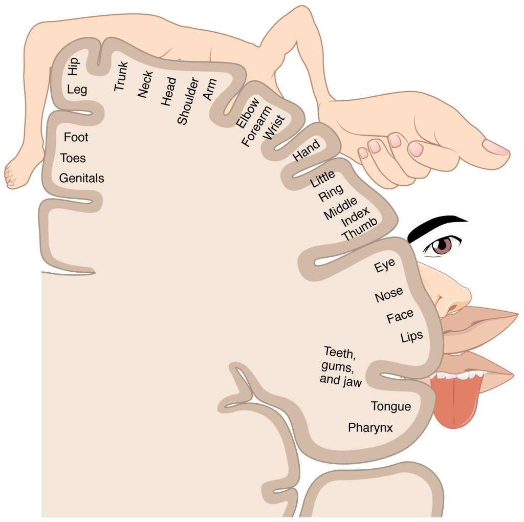 Thalamus | Facts, Position In Brain, Summary & Function