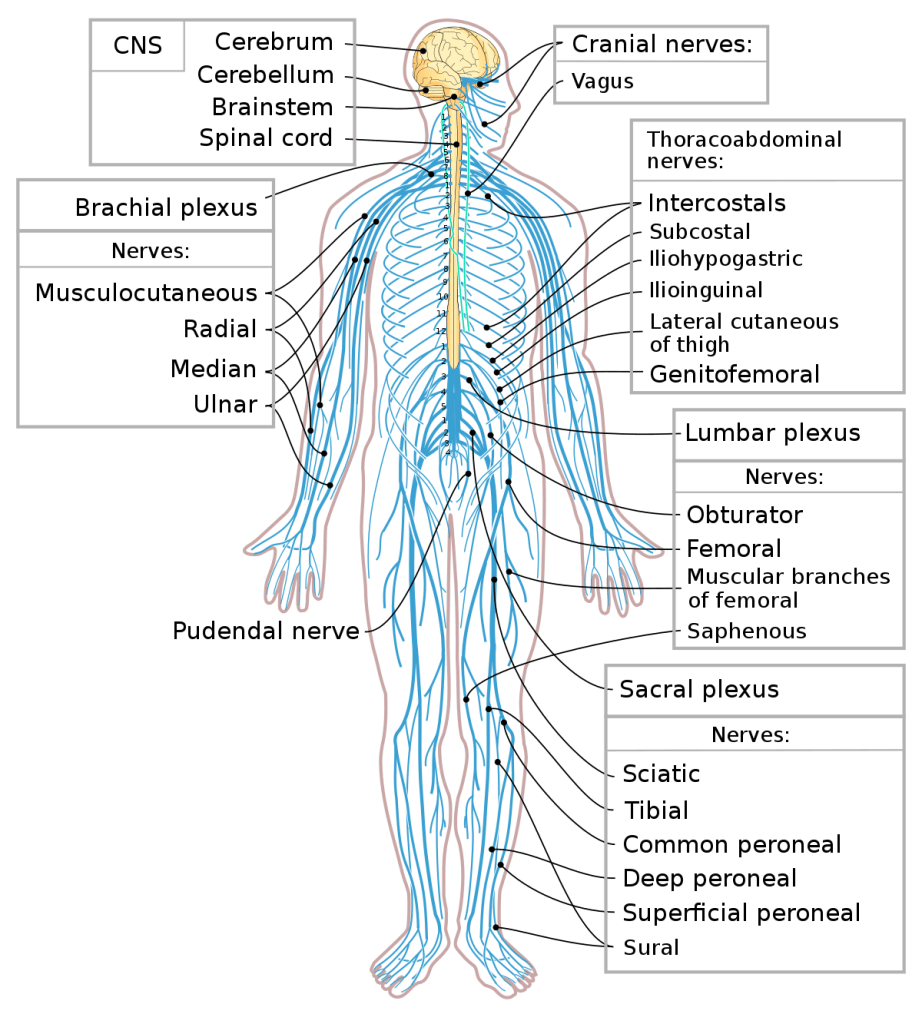 Peripheral Nervous System Facts | Divisions, Organization, Summary