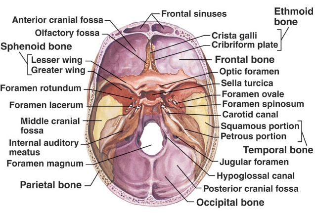 inside skull diagram simple epithelial cell brainmind com