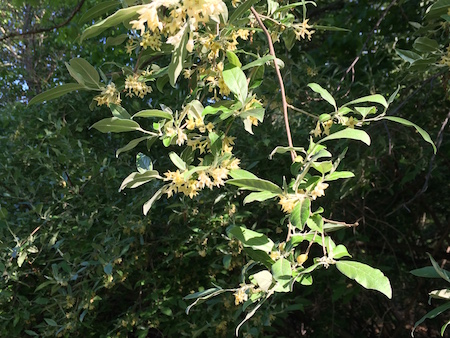 autumn-olive-flowers