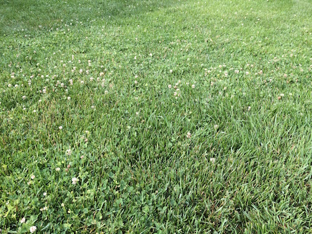 clover-in-lawn