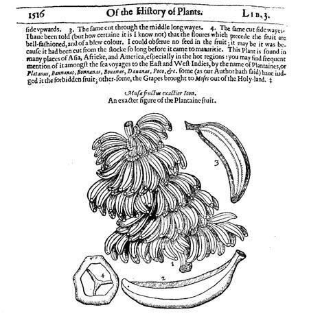 Botanical-Fruit-Banana-Engraving