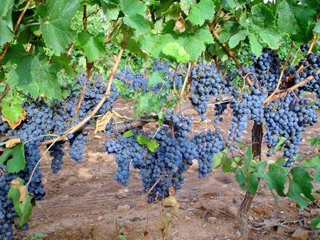 viñedos-uvas
