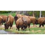 Wild Bison of Yellowstone