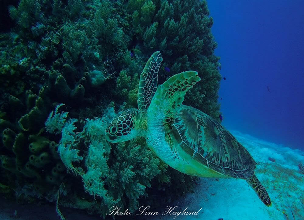 A turtle on a diving site outside alona beach, Philippines