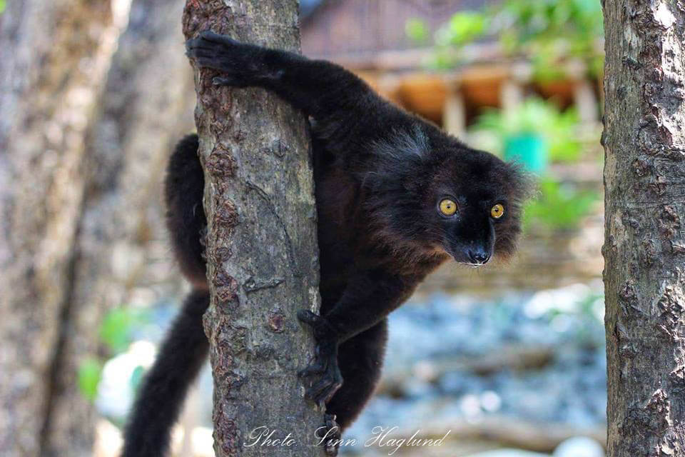 A lemur hanging in a tree