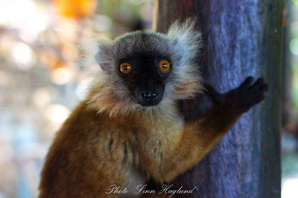 Incredible wildlife ecounters in Madagascar. Lemurs were hanging around us at the eco-lodge every day.