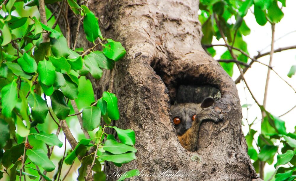 A tree lemur looking out of his tree. This animal is acctually blind during day time.