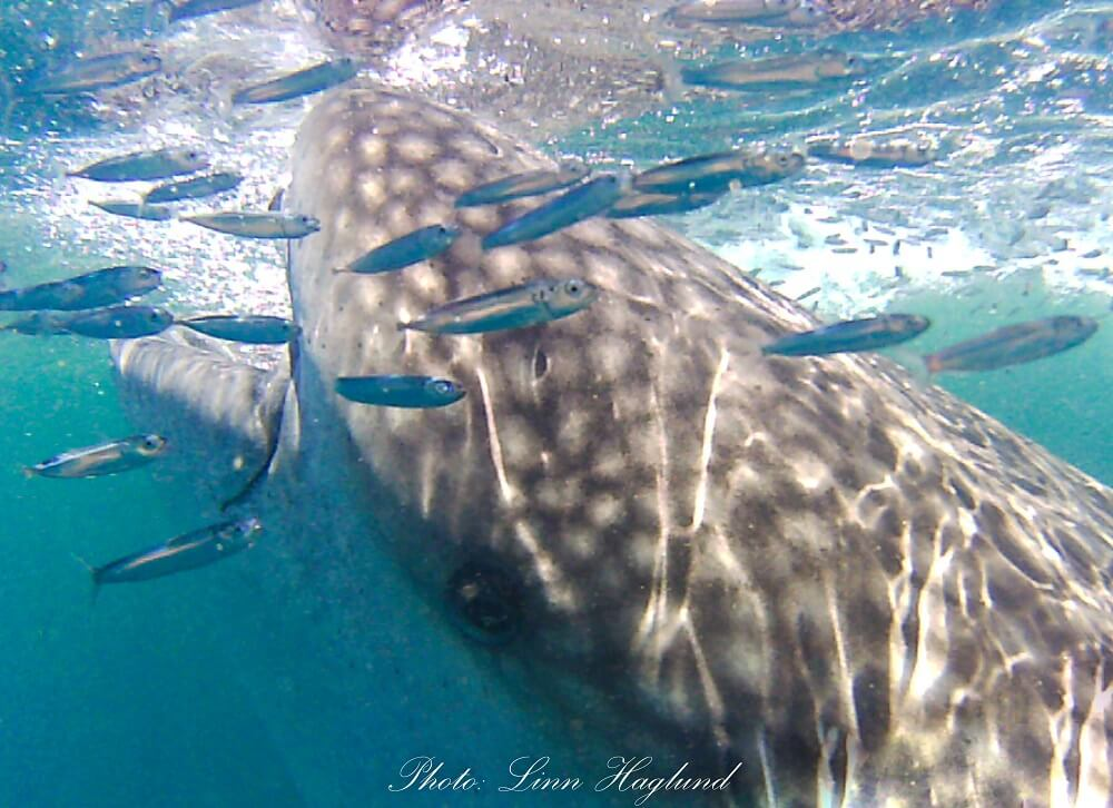 Small fish hanging out around a whale shark eating plankton