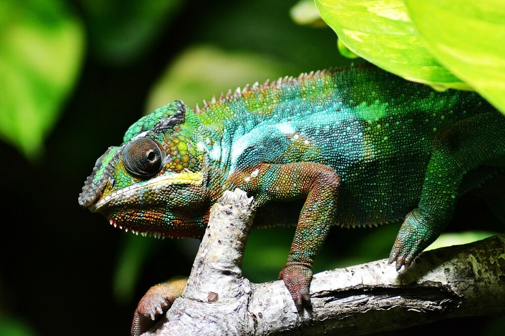 A chameleon changing colors