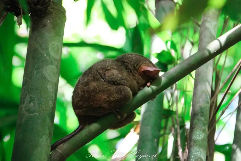 A sleeping Philippine Tarsier