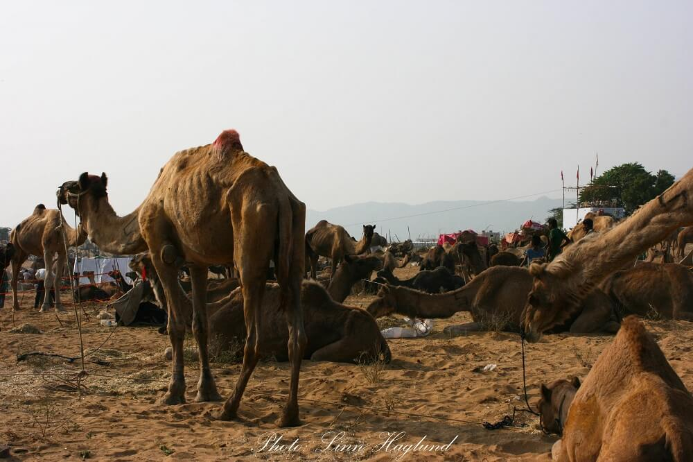 Camels on the camel fair in Pushkar