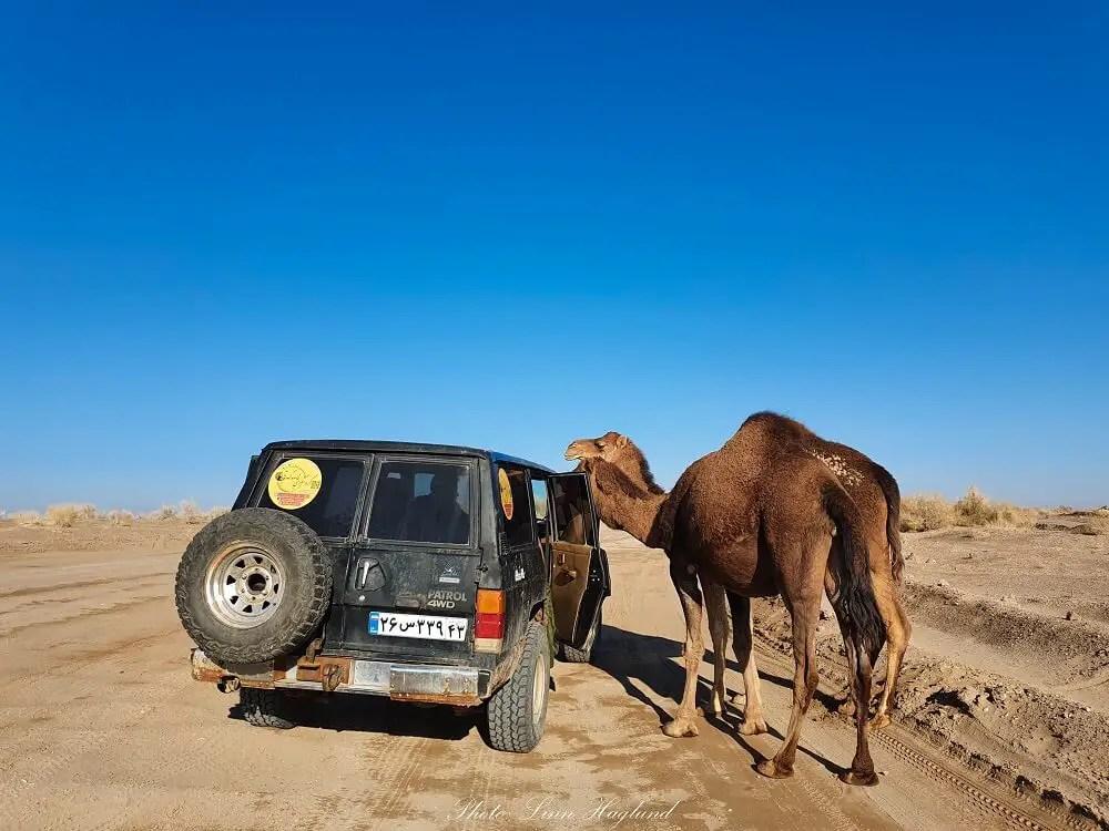 Camels in the Maranjab desert Iran