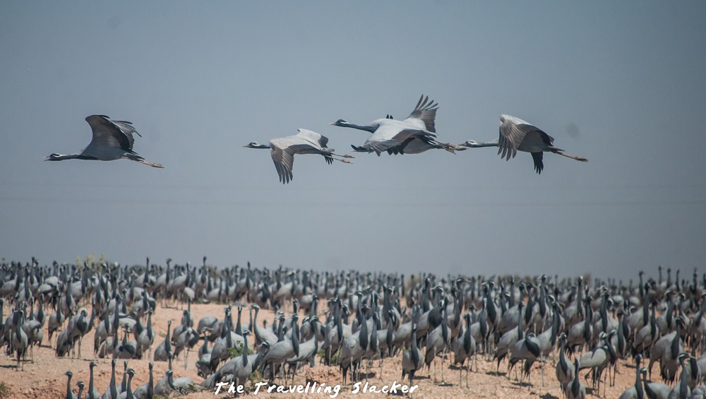 Rajasthan beauty that is not so well-known: Demoiselle Cranes at Khichan