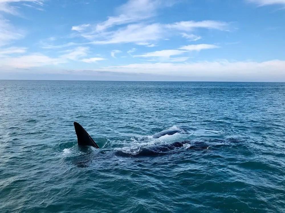 Hermanus Whales in South Africa