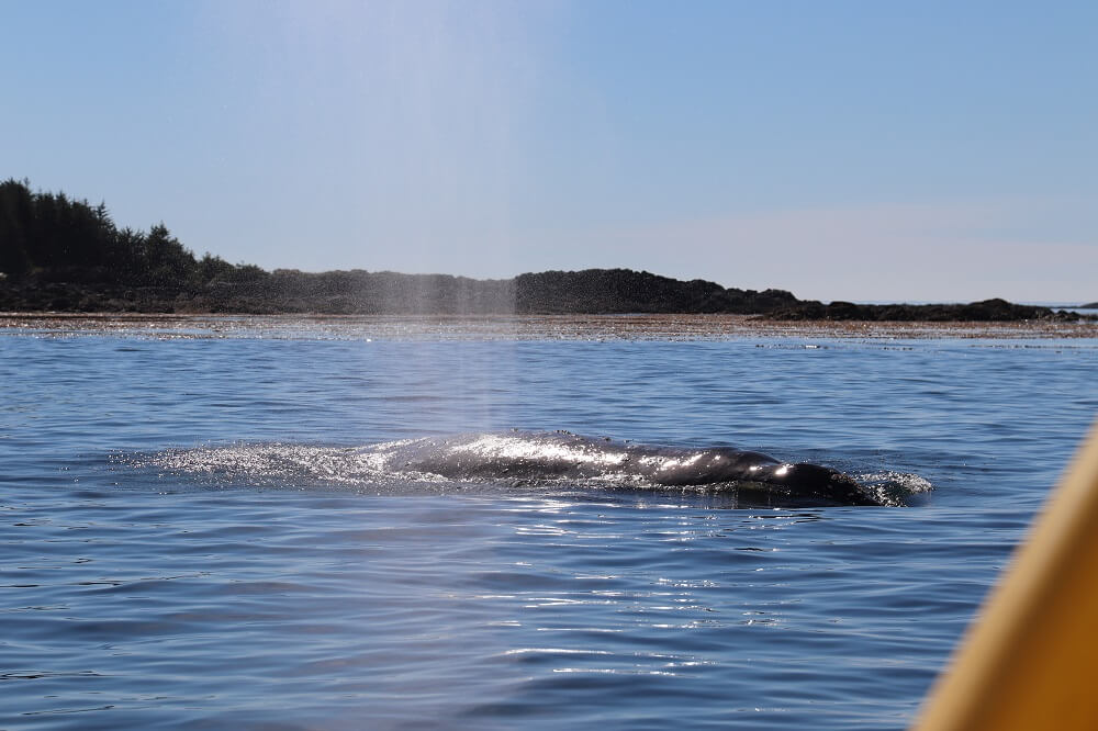 Tofino is one of the best places to see whales in the world
