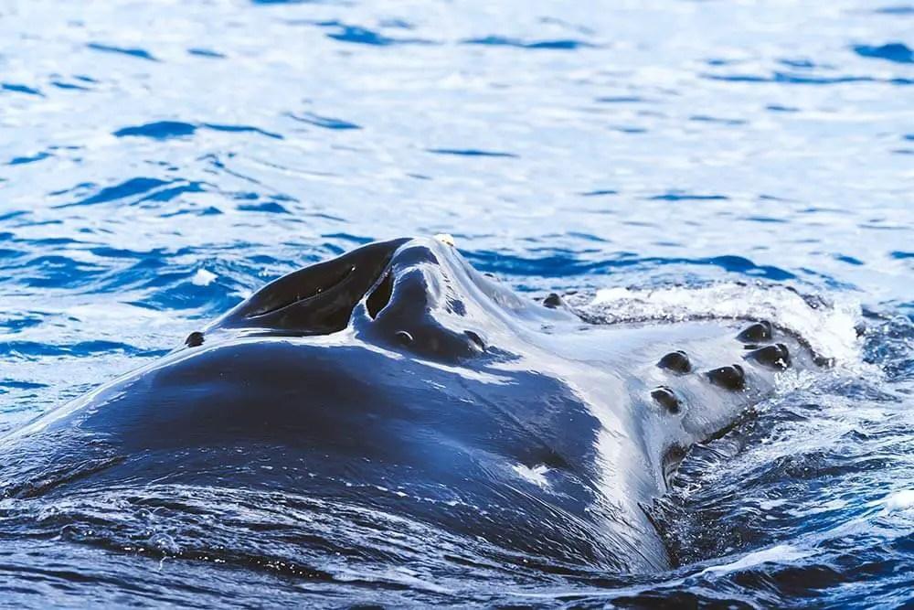 Whale watching in Tromsø