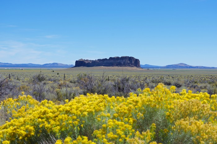 View of Fort Rock with blooming rabbitbrush in the foreground
