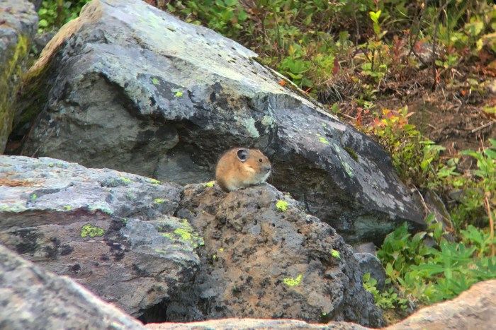 Pika sitting on top of a boulder on the side of Cultus Creek Trail