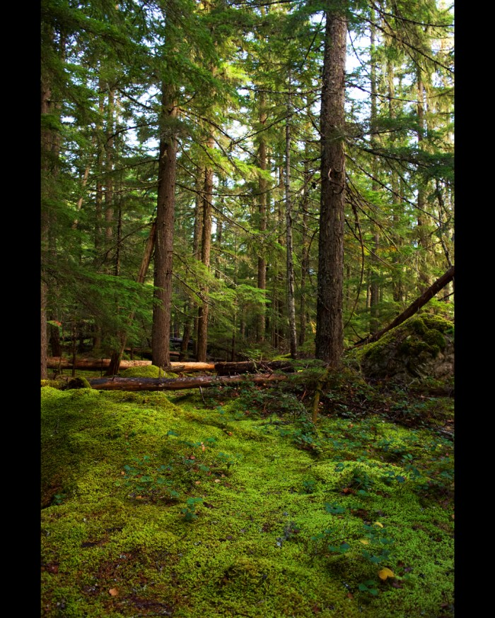 Bright green conifers and moss covered forest floor in Happy Creek Forest