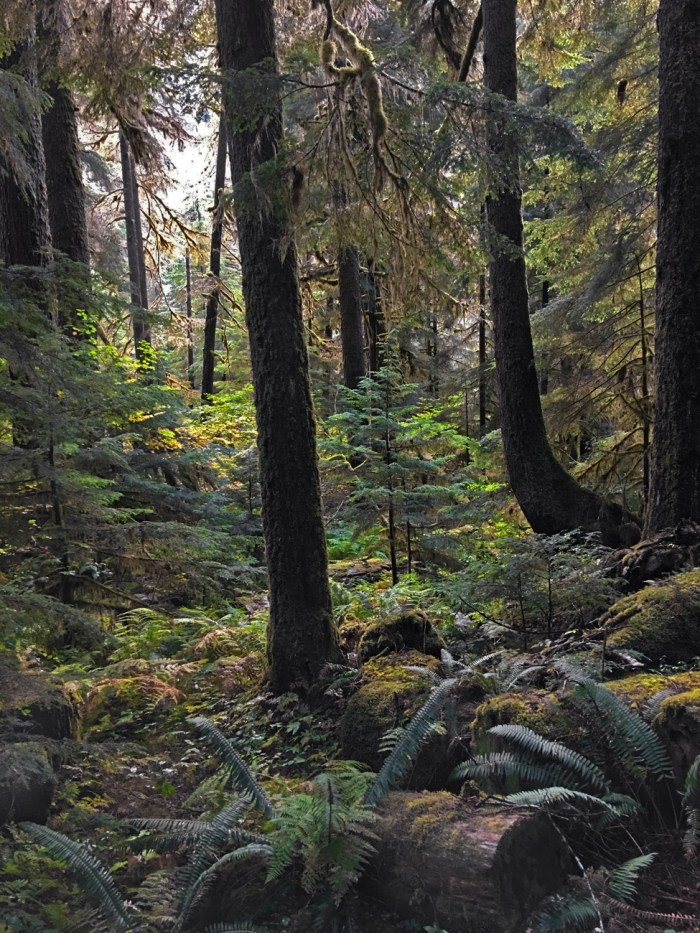 A view into the rainforest near Sol Duc Falls with ferns and moss-covered firs